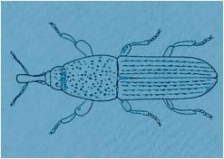 woodboring weevil